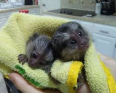 Nice Marmoset Monkeys for sale.