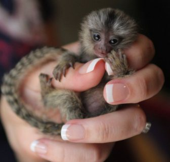 Gorgeous Marmoset Monkeys for sale.