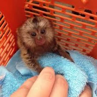Marmoset Monkeys For Sale.