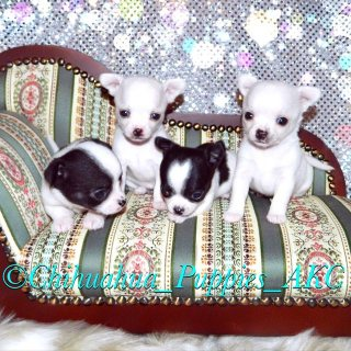 Friendly Chihuahua Puppies For Sale.