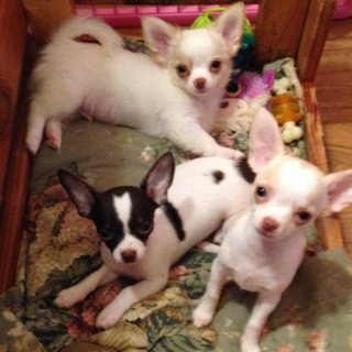 Awesome Chihuahua puppies for sale.