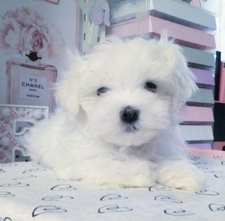 Stunning Maltese Puppies