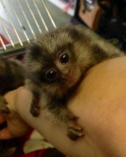 Cute Marmoset Monkeys