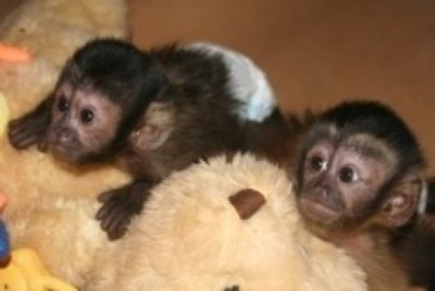 صور capuchin monkey babies for sale 1