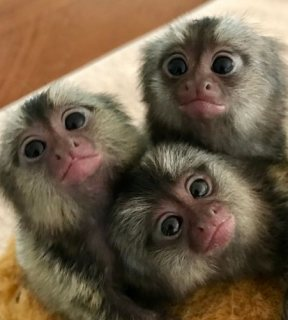 القرود القرود للبيع