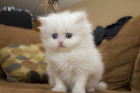 صور Persian Cats and kittens 1