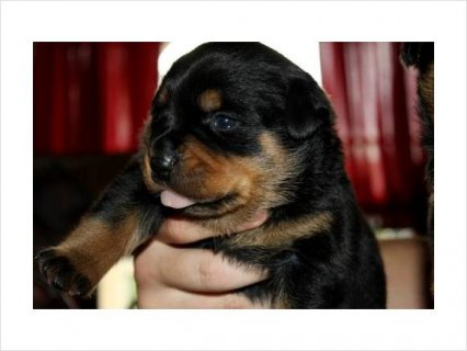 Akc Rottweiler Female Puppy German champion