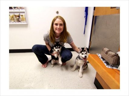 Siberian husky puppies for free adoption