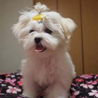 Good maltese  puppies  for sale