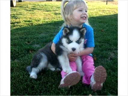 Akc Blue Eyes Siberian Husky Puppies