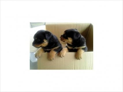 صور Rottweiler puppies contact use 1