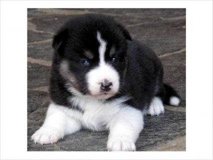 Sweet Baby Akita Puppies