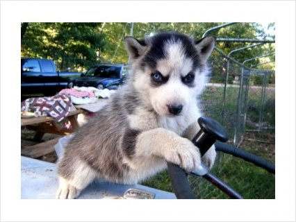I have an 12 weeks old Siberian Husky, She is a sweet girl who n