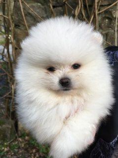 نسب الجراء كلب صغير طويل الشعر للمنازل جديدة