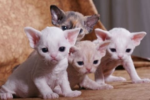 S Devon Rex Breeders Devon Rex Cat Breeders