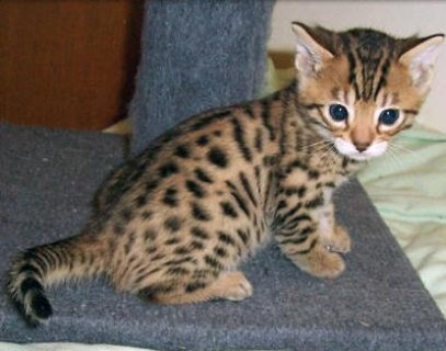 4Exotic bengal kitten
