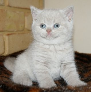 cWHITE GOOD LOOKING BRITISH KITTENS NOW AVAILABLE