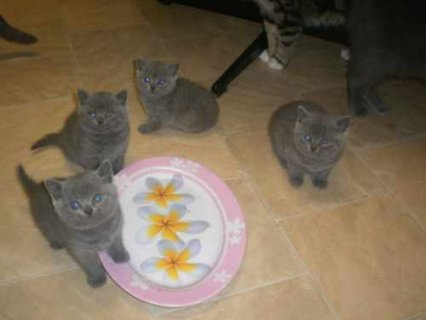 Blue British Shorthair kittens3