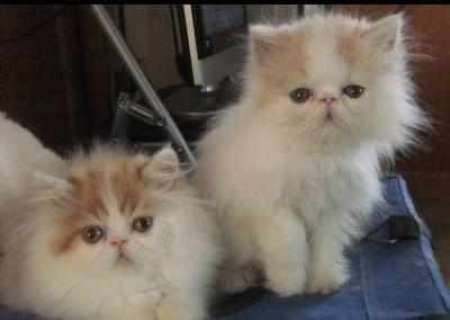 CFA PERSIAN AND HIMALAYANf