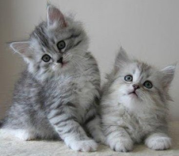 asiberian kittens for re-homing to any lovely home