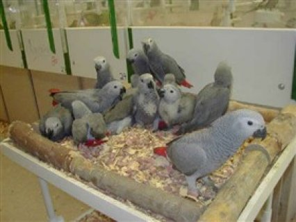African Grey parrots and parrot eggs for salea