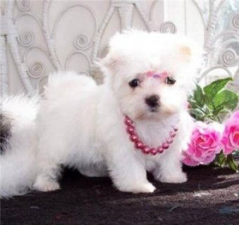 صور Sweet Teacup Maltese Puppy for adoption 1