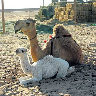 Camels for Sale, Purebred