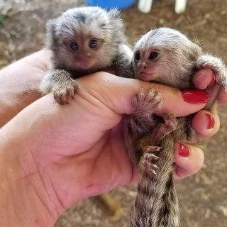 القرود الصحية متوفرة الآن