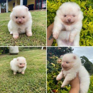 كلب صغير طويل الشعر الصغير يبحث عن منازلهم إلى الأبد