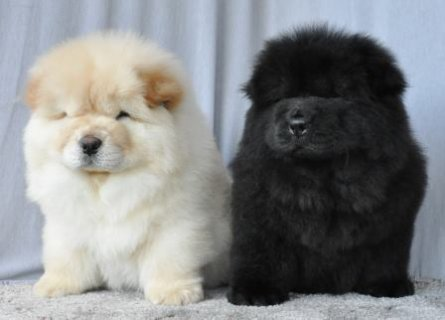 صور  healthy girl and boy chow chow puppy for good homes 1