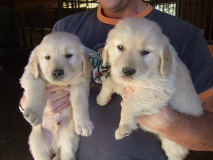 Male and female Golden Retriever