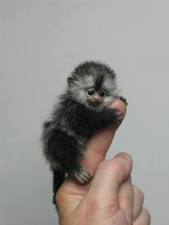 صور BABY POCKET MONKEY FOR SALE. 1