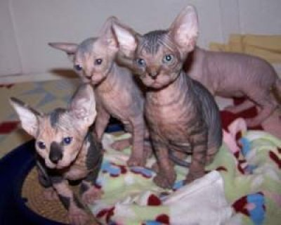 صور Lovely Sphynx Kittens for adoption 1