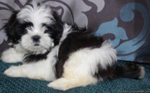 "ADORABLE Teeny Tiny \""MaltiTzu\"" Designer Breed CKC Pups"