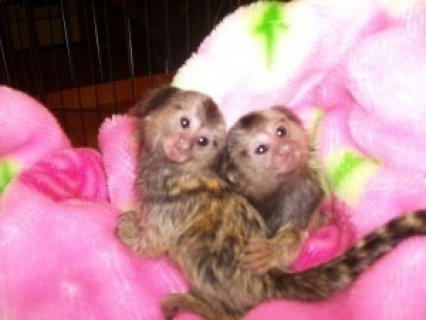 Twin Pygmy Marmosets Monkeys for Sale