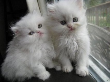 صور Persian Kittens Available 1