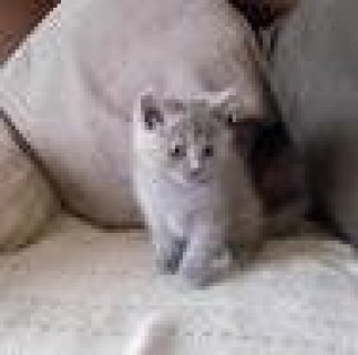 صور Male and Female British short hair kittens 1