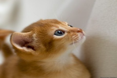 Charming Abyssinian Cats for sale