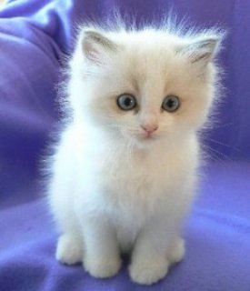 صور Purebred Ragdoll Kittens from Registered Breed 1