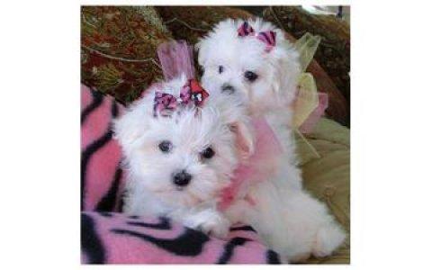 Cute Maltese Pups