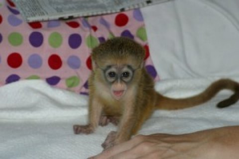THE CAPUCHIN MONKEYS YOU NEED VERY MUCH AVAILABLE FOR NEW HOMES