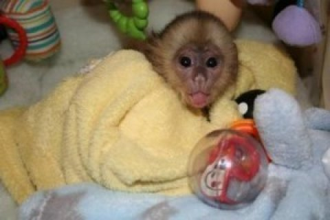 Capuchin Monkey for Male and Female