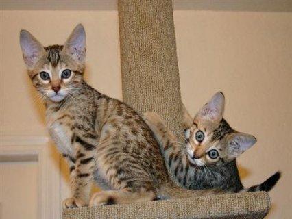Beautiful Savannah Kittens For Adoption into New Homes