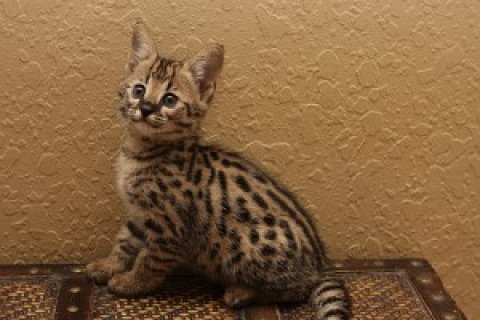 We have a gorgeous litter of F2 savannah kittens available. Thes