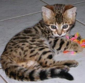 Savannah for Adoption