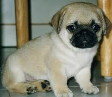 Pure White Pug Puppies for Adoption