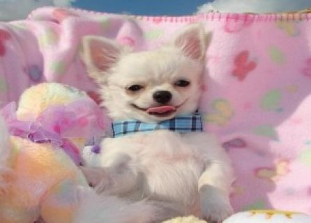 Cute Chihuahua Puppies for Adoption