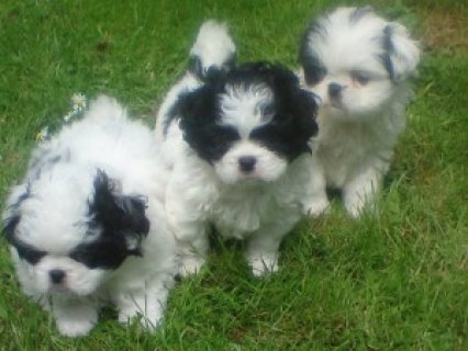 Beautiful JATZU(Japanese chin/shih tzu mix) Puppies for adoption