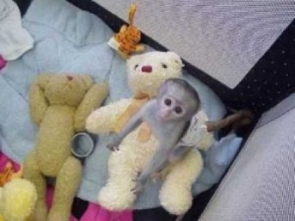 Awesome CAPUCHIN MONKEYS FOR ADOPTION