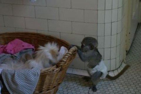 Beautiful Adorable male and female babies Capuchin monkeys  Pure
